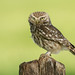 Little Owl by Andrew Haynes Wildlife Images