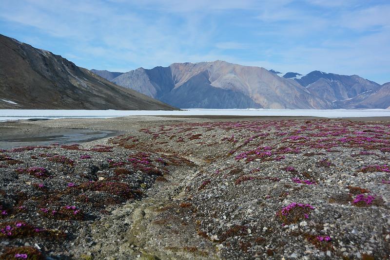 Arctic purple