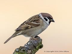 Tree Sparrow at Frampton marsh 30/11/16