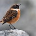 A little stonechat by davy ren2
