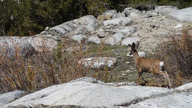 Deer, m794