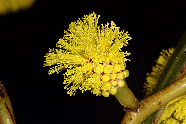Header of Acacia Pycnantha