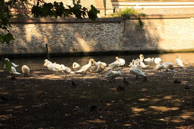 La colonia di cigni