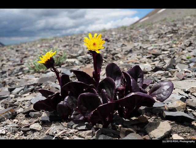 Colorado Ragwort (Senecio soldanella)