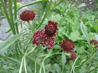 Scabiosa Atropurpurea red
