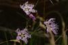 Pracht-Nelke, Oeillet superbe (Dianthus superbus) bei Blaunca (Oberengadin) (2015-07-26 -28) by Cary Greisch