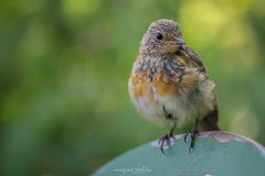 nightingale, animal, sparrow, nature, fauna, close-up, emberizidae, beak, bird,