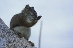 écureuil au bord du lac saint jean 3- Marie Turenne