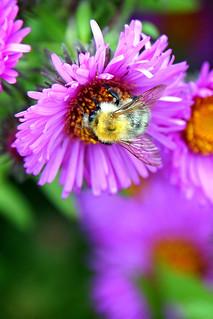 Poland-01811 - Busy Bee