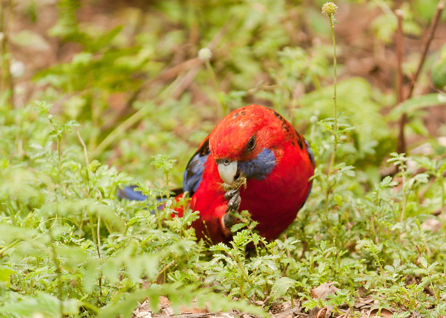 crimson rosella lamington (1 of 1)