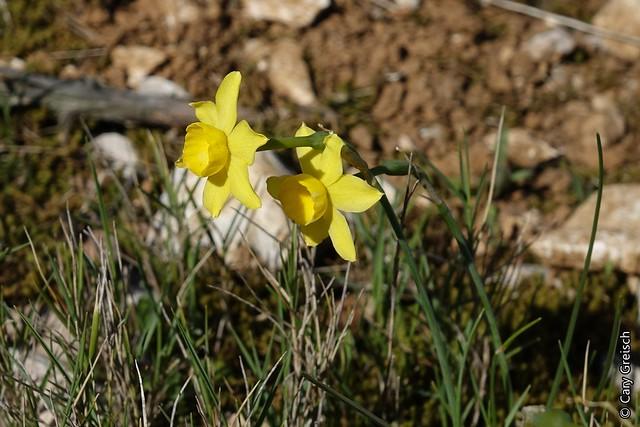 Narcissus assoanus - narcisse d'Asso 18314772719_fdc3845bbf_z