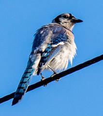 swallow(0.0), crow-like bird(0.0), animal(1.0), wing(1.0), fauna(1.0), finch(1.0), blue(1.0), blue jay(1.0), beak(1.0), bird(1.0),