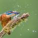Bish bash !!! by Andrew Haynes Wildlife Images ( Thanks )