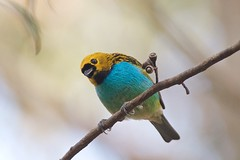 Gilt-edged tanager (Tangara cyanoventris)