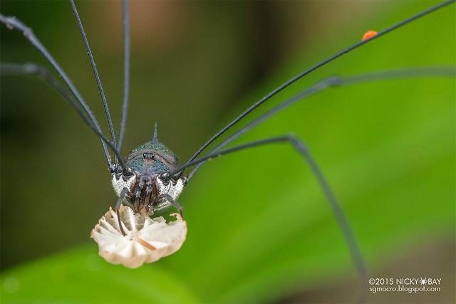 Harvestman (Opiliones) - DSC_5517