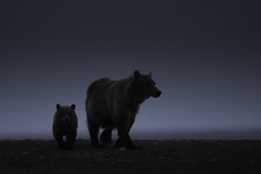 Grizzly Sow and Cub - Lake Clark, Alaska