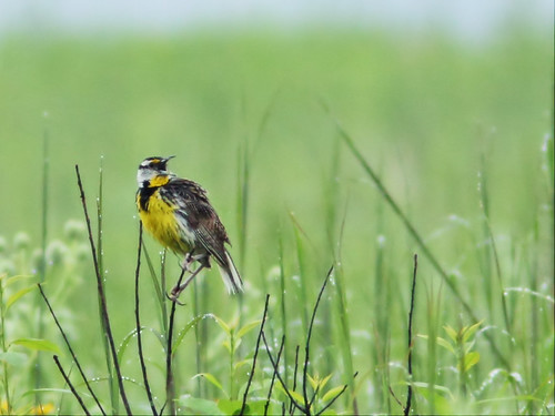 Eastern Meadowlark 20150712