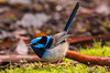 Superb_Fairy_Wren-3