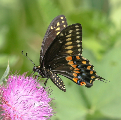 philadelphia us pennsylvania butterflies content insects places folder swallowtail takenby 2014 blackswallowtail johnheinznwr peterscamera petersphotos canon7d 20140729johnheinznwr