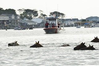 The ponies make the annual swim from Assateague Island, Va., to Chincoteague Island, Va., during the 90th Pony Swim on Virginia's Eastern Shore, Wednesday, July 29, 2015. Crew members from U.S. Coast Guard Station Chincoteague enforced the safety zone where thousands of spectators gathered for the event. (U.S. Coast Guard photo by Petty Officer 2nd Class Nate Littlejohn)