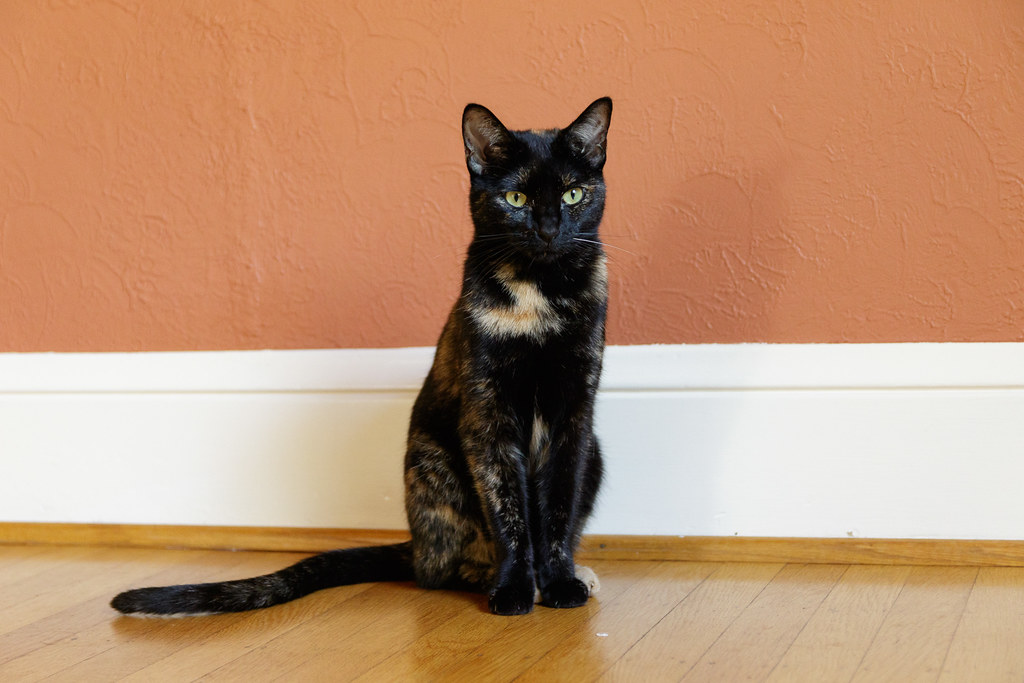 Our tortoiseshell cat Trixie sits in our dining room