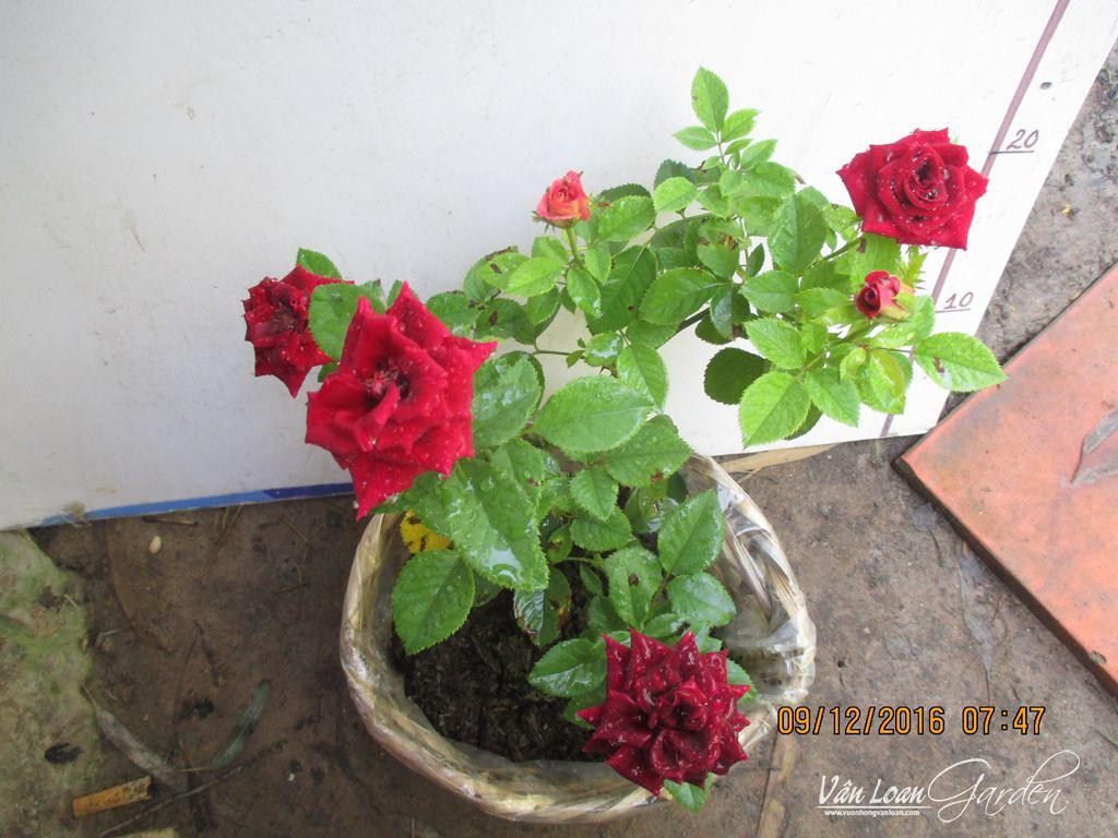 Hocus Pocus Kordana rose (1)-vuonhongvanloan.com(1)