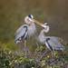 Great blue heron courtship by missymandel