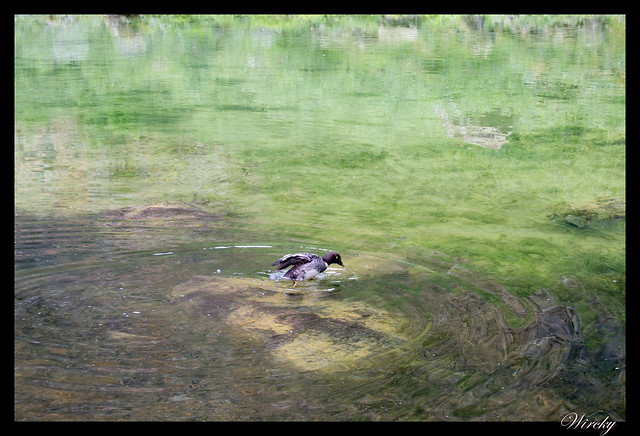 Pato en Cañón de Asbyrgi