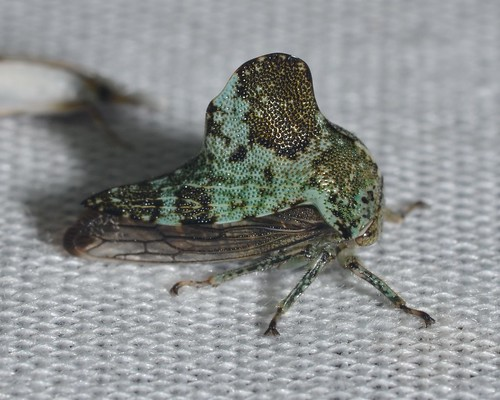 Telamona concava - Treehopper