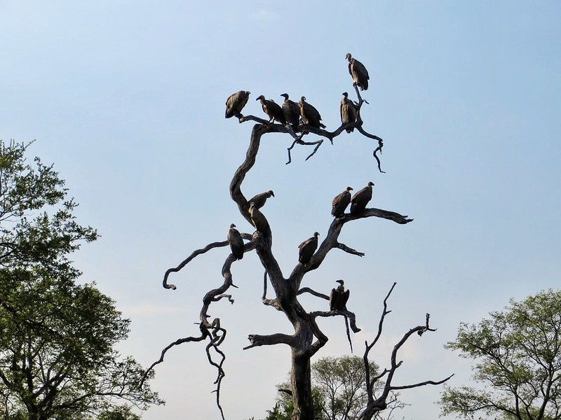 A venue of vultures, MalaMala