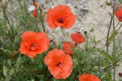 Poppies at Chemin des Dames (France 2015)