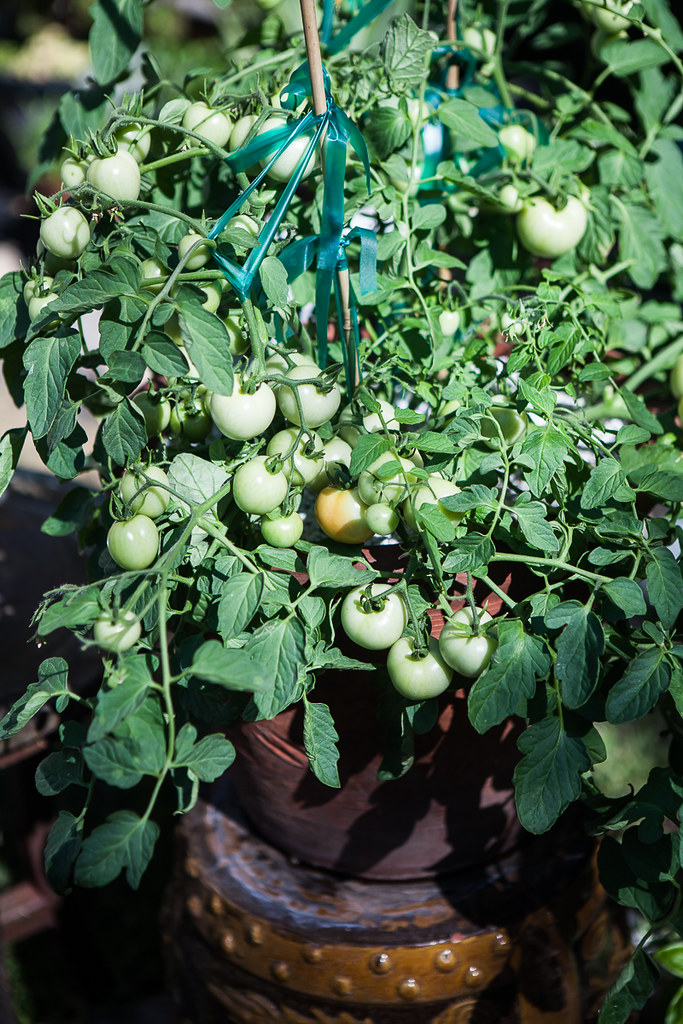 Maskotka Tomatoes