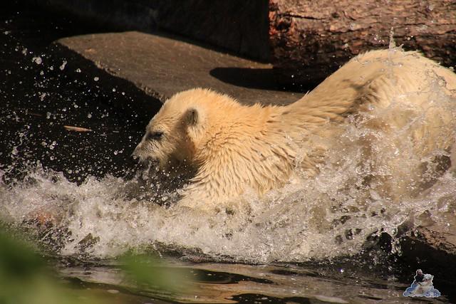 Eisbär Fiete im Zoo Rostock 0117