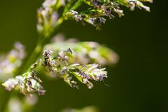 Grass blossoms