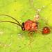 Eucharitid Wasp - Obeza floridana, Bird Rookery Swamp, Collier County, Florida by judygva