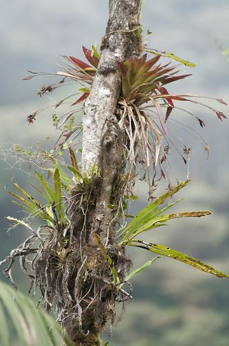 epiphytes midelevation cloud forest western slope of