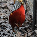 Lady Amherst's Golden pheasant