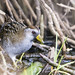 J. E. Foster has added a photo to the pool:The sora rail is a scarce visitor to freshwater marshes of Trinidad & Tobago.