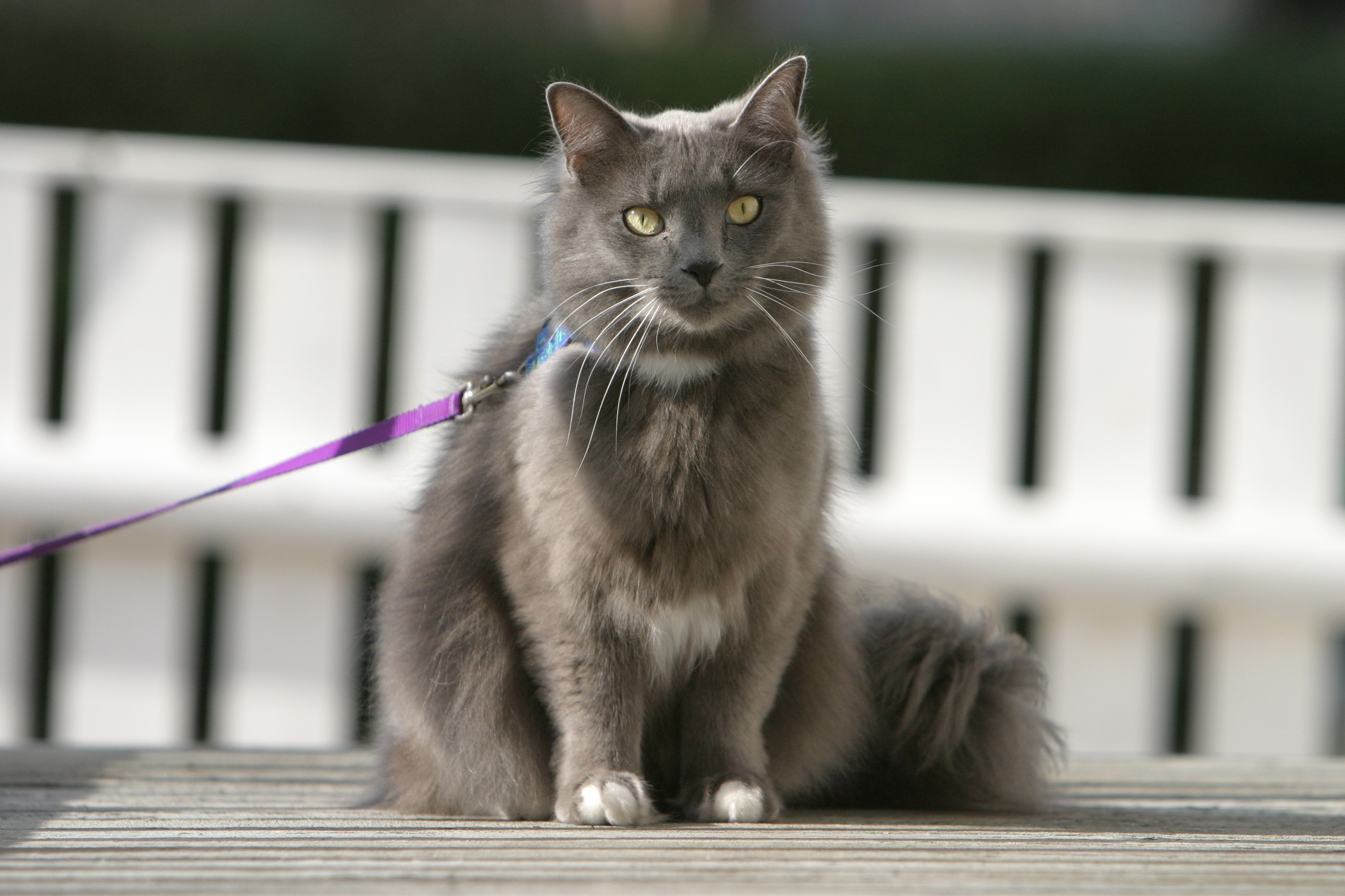 cat on a leash it 39 s max flickr photo sharing. Black Bedroom Furniture Sets. Home Design Ideas