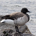 Brant - Photo (c) Eric Heupel, some rights reserved (CC BY-NC)