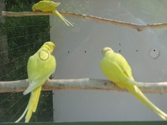 atlantic canary(0.0), parakeet(0.0), animal(1.0), lovebird(1.0), parrot(1.0), yellow(1.0), pet(1.0), fauna(1.0), finch(1.0), beak(1.0), bird(1.0),