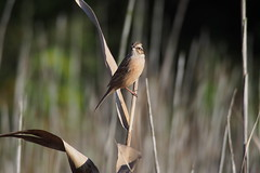 Meadow Bunting (Emberiza cioides)