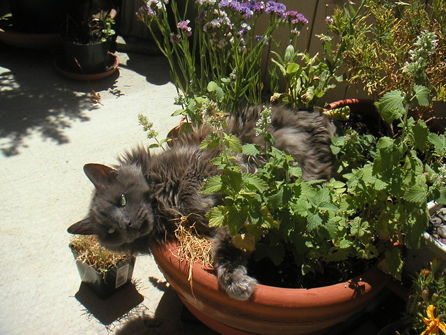 Greybrother in the catnip garden flickr photo sharing for Indoor gardening with cats
