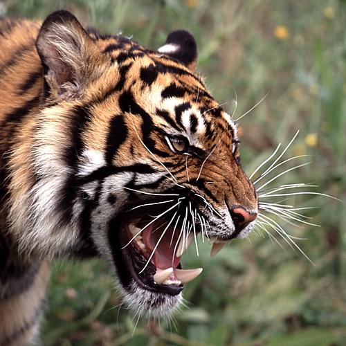 Tiger face portrait in a square