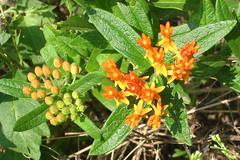Little Orange Wildflowers on the W&OD trail