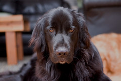 irish setter(0.0), dog breed(1.0), animal(1.0), dog(1.0), boykin spaniel(1.0), pet(1.0), mammal(1.0), field spaniel(1.0), setter(1.0), russian spaniel(1.0), english cocker spaniel(1.0), blue picardy spaniel(1.0), spaniel(1.0), german spaniel(1.0), flat-coated retriever(1.0),