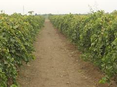 food(0.0), hedge(0.0), agriculture(1.0), shrub(1.0), farm(1.0), field(1.0), soil(1.0), produce(1.0), crop(1.0), vineyard(1.0), plantation(1.0),