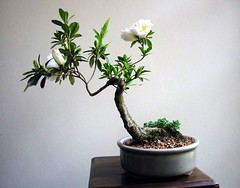shrub, flowerpot, flower, branch, plant, sageretia theezans, houseplant, bonsai,
