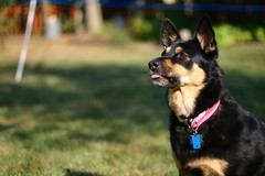 police dog(0.0), dog breed(1.0), german shepherd dog(1.0), animal(1.0), dog(1.0), pet(1.0), mammal(1.0),