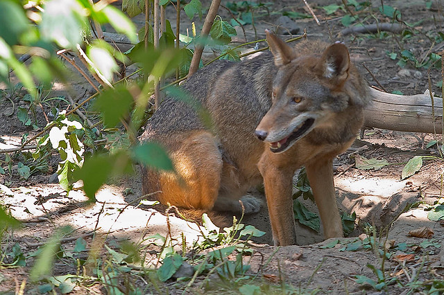 Red Wolf Pappa